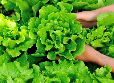 Thu 3,5-4,5 triệu/ngày nhờ trồng 800m2 xà lách