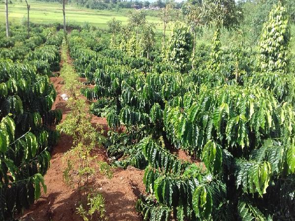 Trồng xen nhiều cây trồng trên một diện tích – hướng phát triển nông nghiệp bền vững