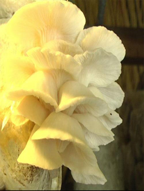 Mô hình trồng nấm
