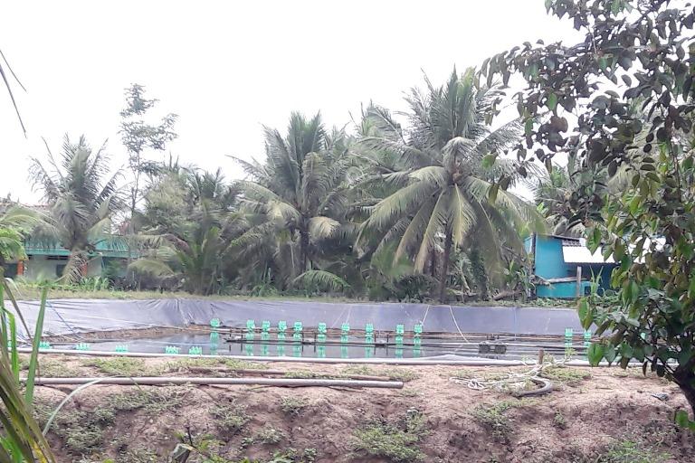 Ao nuôi tôm thẻ chân trắng trong vườn cây ăn trái tại ấp 2, xã Tam Hiệp, huyện Châu Thành, Tiền Giang